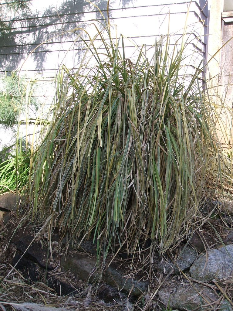 "Pampas grass ""After,"" or maybe just ""During"""