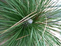 Merchant's Millpond State Park - Longleaf Pine Flower