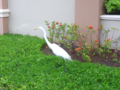 Caribbean bird - a white heron??