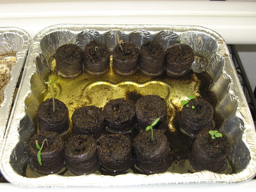 Spearmint and Tomatoes Sprouting