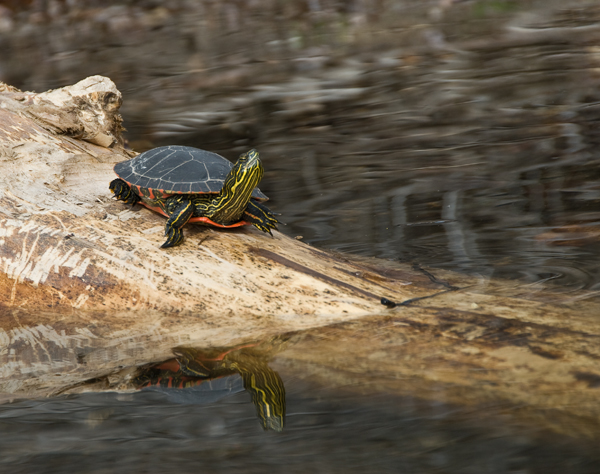 Painted Turtle at Patterson Lake