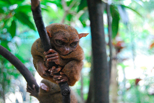 tarsier-philippines-03 by you.