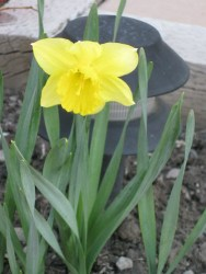 Our garden's lone Daffydill :)