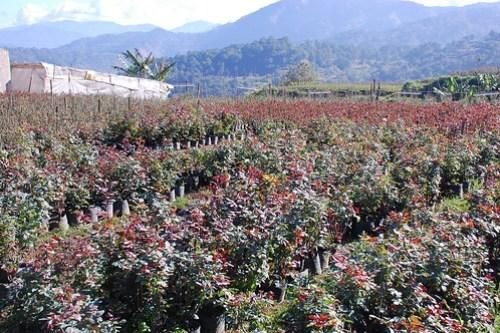Benguet Bahung La Trinidad Flower Farm 4