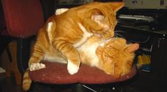 20090211 - cats wrestling - 176-7616 - Oranjel...