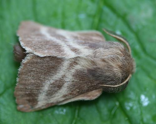 7701 - Malacosoma americanum - Eastern Tent Caterpillar Moth (4)