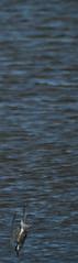 Tern bookmark