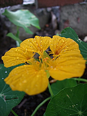 another nasturtium - this one in a gentle yellow..