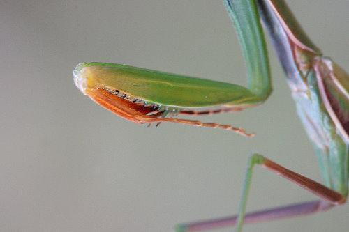 mantis7