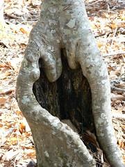 Merchant's Millpond State Park - Salvadore Dali Beech