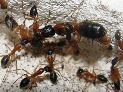 Матица са мравима (аутор McKillaboy)