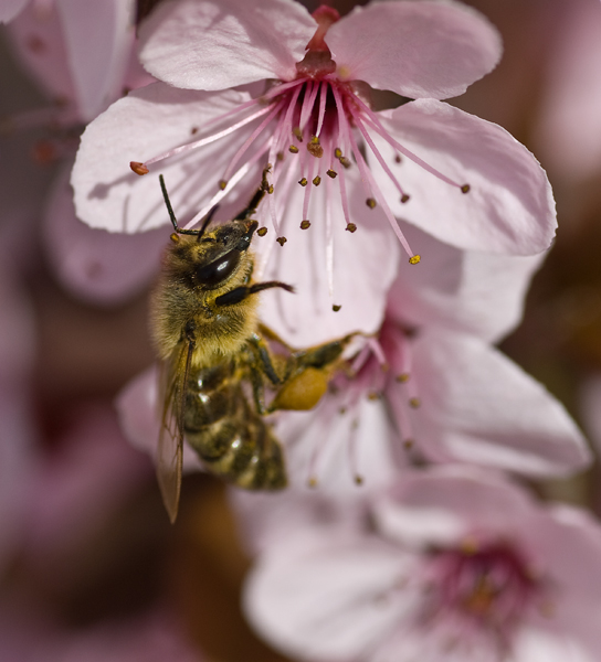bee on plum blosssom