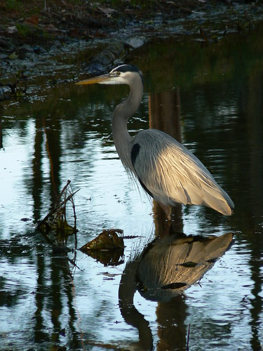 Pine Lake Drive - Heron and Reflection (Portrait)