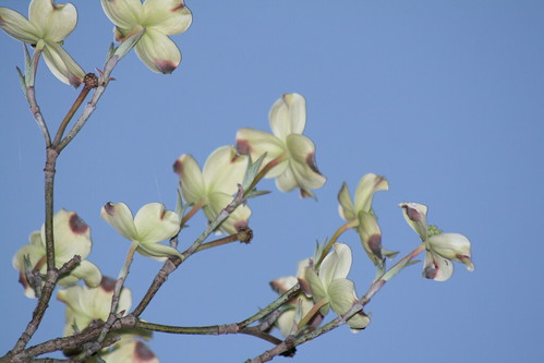 Dogwood Blooms against the sky