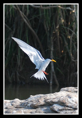 The river tern - landing