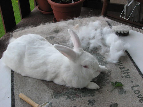 gus after being brushed