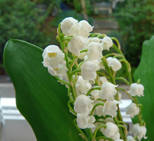Muguet / Lily of the Valley