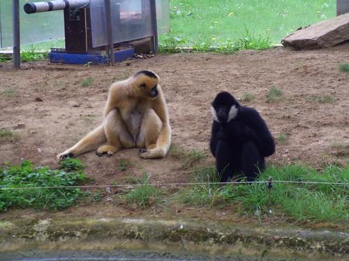 Gibbons!