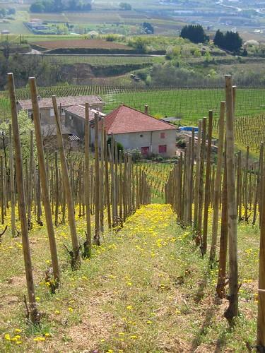 Vineyards at Tain lHermitage.