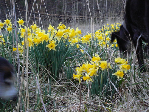 Fairystone Wildlife Management Farm - Daffodils and Blurry Dogs