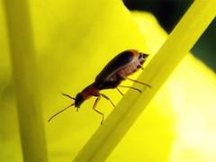 Attalus amictus
