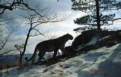 Dalnyaya, female Amur leopard