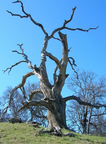 Twisted oak snag
