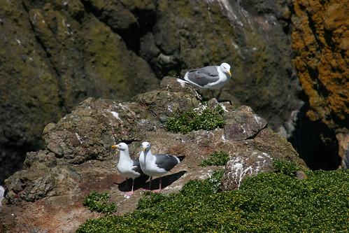IMG_7510 - Sea Gulls