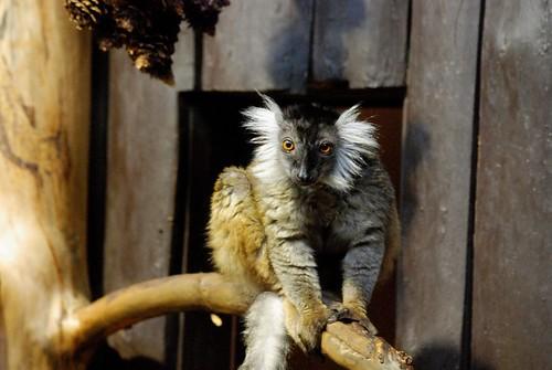 Lemur im Zoo Riga