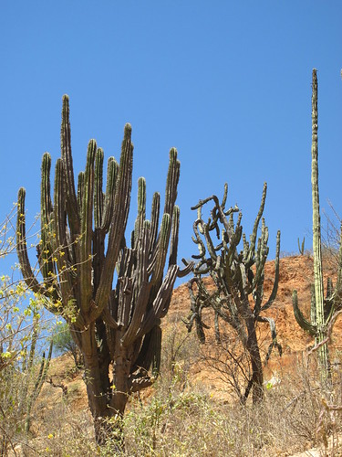 Cacti in the Batopilas canyon