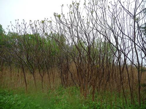 bayberryshrub