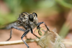Robber Fly sucking the life from it's latest d...