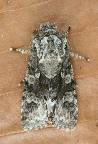 10019 - Psaphida resumens - Figure-Eight Sallow