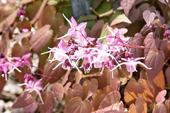 Barrenwort (Epimedium grandiflorum) 'Dark Beauty' - Plants For Dry Shade
