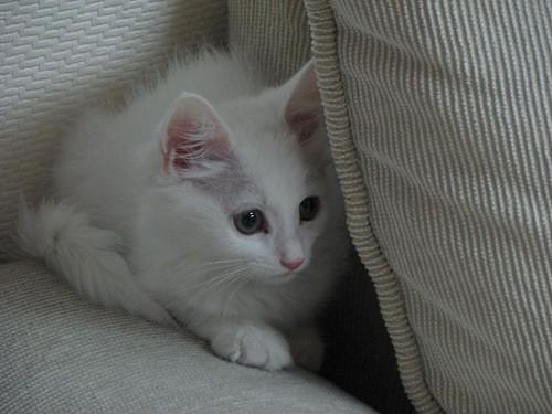 소파쿠션 뒤에 숨어 있는 하얀 고양이