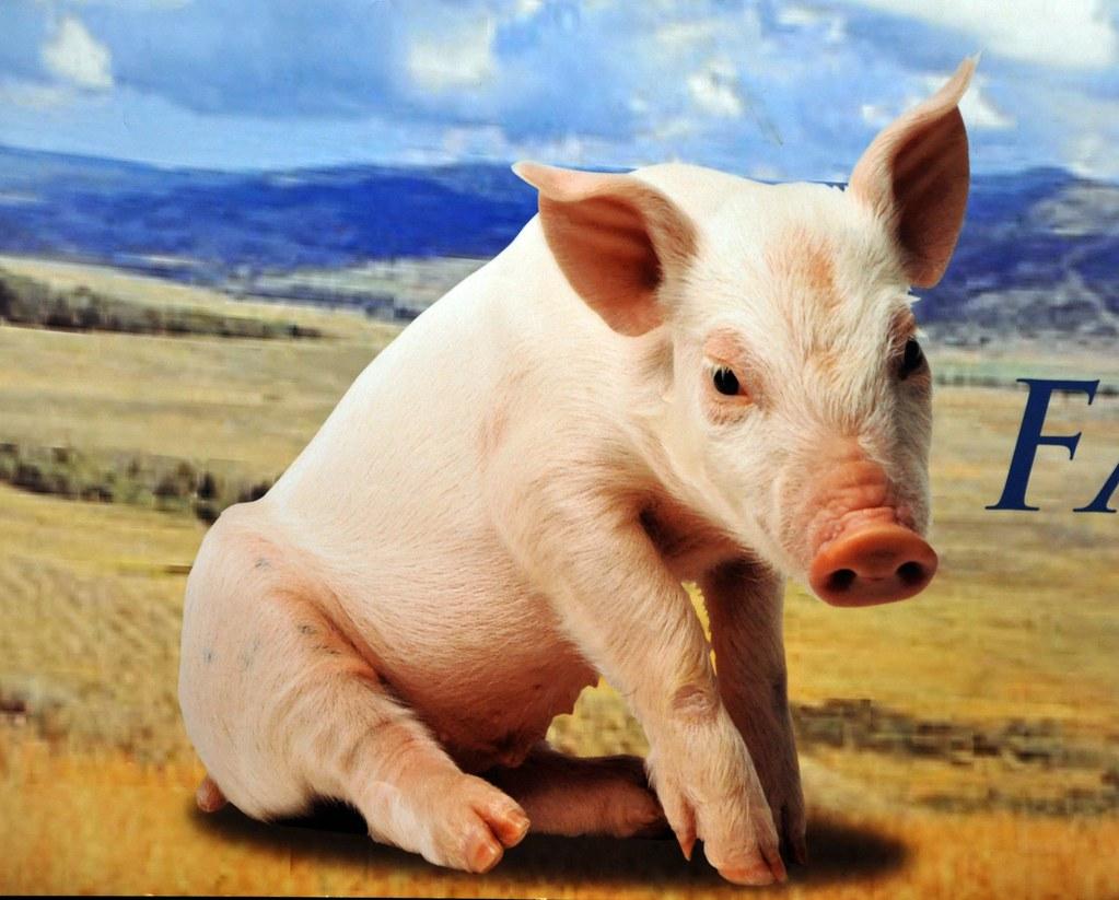 Schweinchen Babe in Alberta