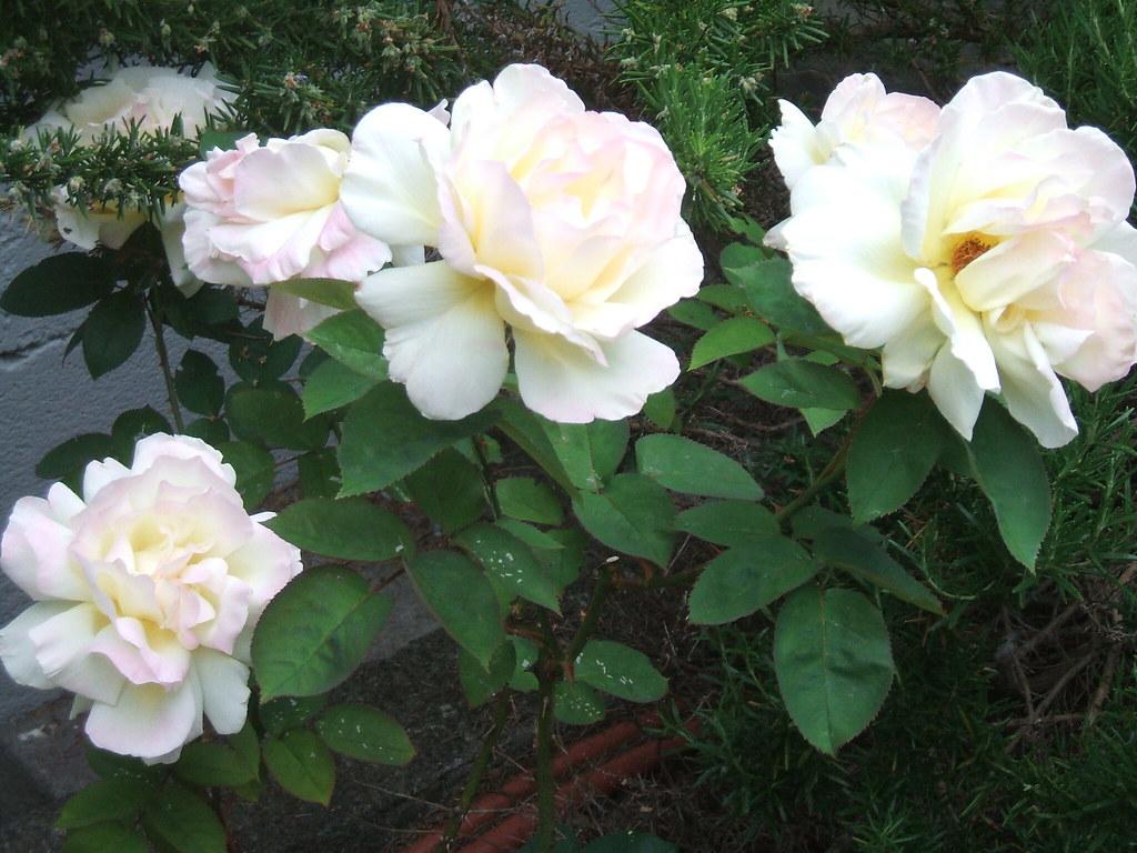 Blowsy rosies