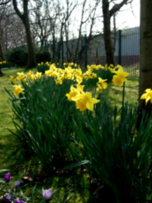 this is what i came for - the drifts of daff, sparkling in the sunshine.
