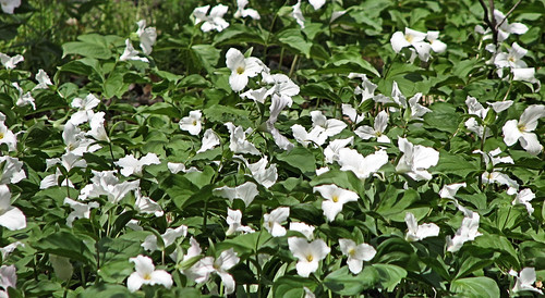 Lots of Trilliums