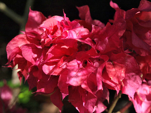Bouganvillea - delicate flowers and deadly branches