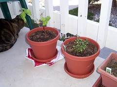 Shrub (of the non-plant variety), more Basil, and Peppermint