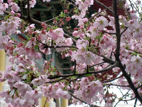 2009年3月淡水無極天元宮賞櫻_1663