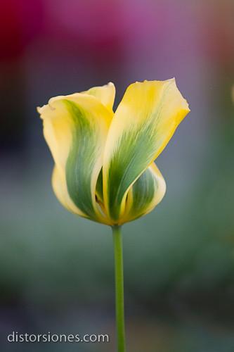Tulipán Landahlauts