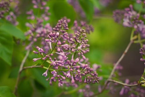 117/365 | lilac blossoms