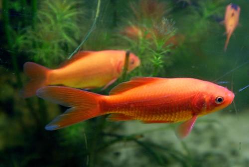 Златна рибица (фото Seven Pillars Lord Abbaddon)