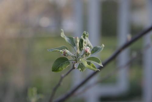 Apple buds blossom