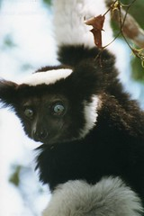 "Indri indri - ""Babakoto"""