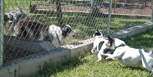 Dogs Fencing 1