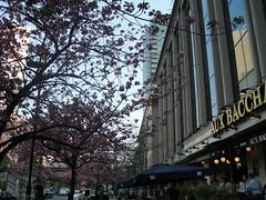 八重桜満開のオーバカナル紀尾井町2