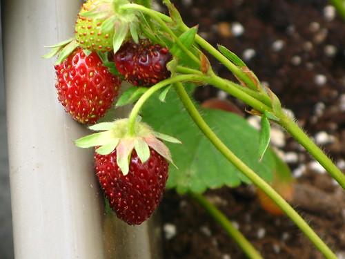 Home-grown strawberries